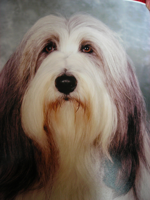 The Bearded Collie Club of Scotland :: Gallery